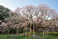 吉高の大桜 - Patrappi annex