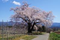 満開の新田原1本桜 - リンゴ園で想う
