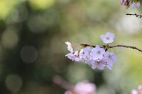 大きな桜の木 - 大阪府池田市 幼児造形教室「はるいろクレヨンのブログ」