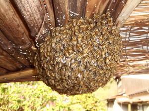 蜂玉。 - 鑑定士ハチの部屋