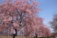 桜だより(13) 吉岡町のしだれ桜 (2019/4/7撮影) - toshiさんのお気楽ブログ
