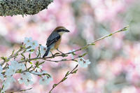 桜にモズベニマシコツバメ - 鳥さんと遊ぼう