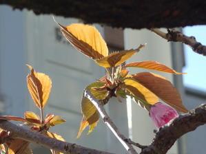 八重桜 -