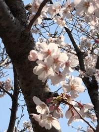 てくてく。。。千里中央公園でお花見  ~嬉しい再会♪~ - ロビンとルークと有のスローライフ ~episode2~