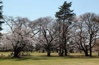 野川の桜ラスト - 日本あちこち撮り歩記