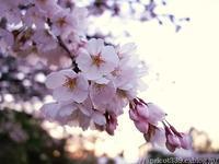 満開の桜と、おばあちゃんとの思い出 - シンプルで心地いい暮らし