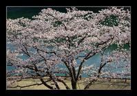 湖畔の桜 - Desire