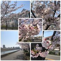 近所の桜とディナーのアポ続く - リタイア夫と空の旅、海の旅、二人旅
