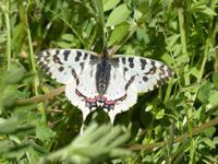 ホソオチョウ外来種今年も - 蝶のいる風景blog