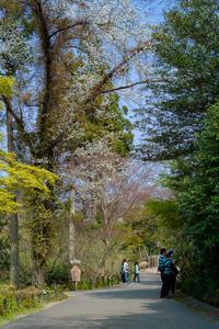 ただ蔦の絡まる木だと思ったら桜だった。 - え~えふ写真館