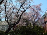 和室公開(4月12日まで)枝垂れ桜が見ごろです - 大佛次郎記念館NEWS
