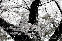 染井吉野 - memory