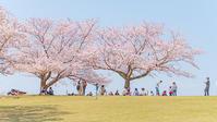 二宮・吾妻山公園の桜満開幸せいっぱいの吾妻山 - エーデルワイスPhoto