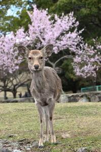 奈良公園@佐保川~お花見さんぽ☆。* - お花畑で微笑んで**