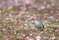 オジロビタキ 4(二シオジロビタキ) - きままに鳥見.