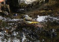 渓流のキセキレイ、 - ぶらり探鳥