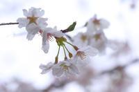 雪と桜 - 風の彩り-2