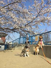 記念撮影ポイントで - 琉球犬mix白トゥラーのピカ