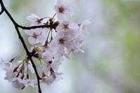 曇天の桜・・・ - 今日もカメラを手に・・・♪