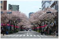 中野桜祭り -  one's  heart