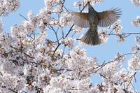 桜の中をパタパタヒヨさん - * Toypoodle  x3 + Birds *