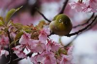 上蒲刈島の河津桜 - バラの花