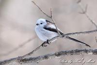 北の大地遠征4日目「シマエナガ」さん三昧(*^^*) - ケンケン&ミントの鳥撮りLifeⅡ
