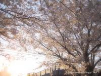 夕焼け桜 - *Any*