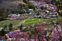 みちのく花見山春景色3 - みちのくの大自然