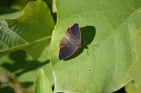 05ムラサキツバメシジミ「蝶図鑑」 - 超蝶