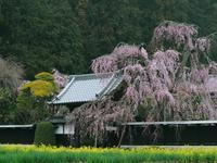 栃木しだれ桜巡り黒塀のしだれ桜 - 光の音色を聞きながら Ⅳ