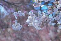 桜のような人 - 美は観る者の眼の中にある