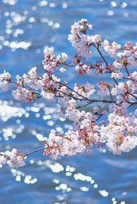 桜咲く(サプライズ) - 赤煉瓦洋館の雅茶子