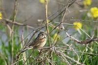 河川敷にて・・・ カラシナがらみの小鳥たち - でっかん散歩
