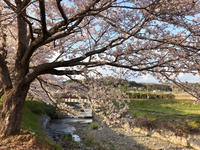 桜2019 故郷の桜 - azukki的.
