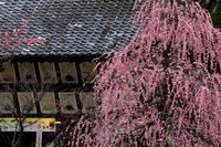 梅の名所・北野天満宮 - 花景色-K.W.C. PhotoBlog