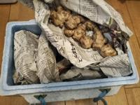 里芋、生姜の越冬成功・・・種芋にしよう♪ - 化学物質過敏症・風のたより2