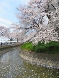 桜見物東浦和見沼田圃用水路に沿って - 活花生活(2)