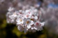 X100Fで見た桜 - Life with Leica
