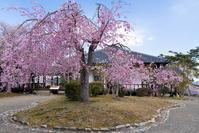 明治村の桜 - 休日PHOTOブログ