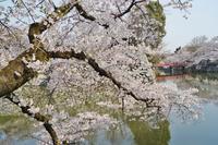 ~石垣と堀と桜と~天守閣抜きの姫路城 - たんぶーらんの戯言