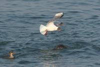 ウミアイサの背中に降りるユリカモメ - 近隣の野鳥を探して