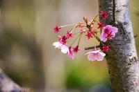 春を告げる・・・ - ショーオヤジのひとり言