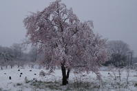 満開の桜が雪に驚いた - リンゴ園で想う