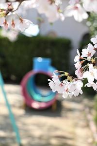 桜がいっぱい - 大阪府池田市 幼児造形教室「はるいろクレヨンのブログ」