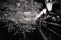 桜模様 #15 - 夢幻泡影