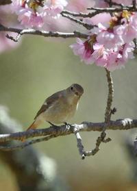 桜にジョウビタキ桜に雪 - 鳥さんと遊ぼう