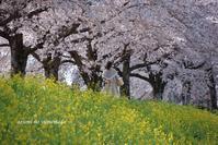 満開のサクラの木の下で~♪ - azumiの夢まど