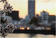 大川の桜Ⅱ - 今日のいちまい