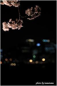 大川のさくらと夜景Ⅱ - 今日のいちまい